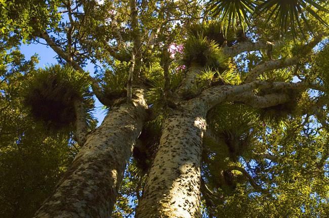 Это один из древнейших видов хвойных деревьев, переживший динозавров